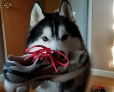 Husky Argues With Owner About Suspected Stolen Shoe, Returns It Anyway 4