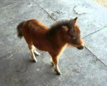 Adorable Baby Miniature Horse Chases Cameraman 1