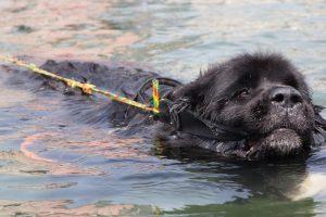 Super Swimmer Dogs Save Lives 12