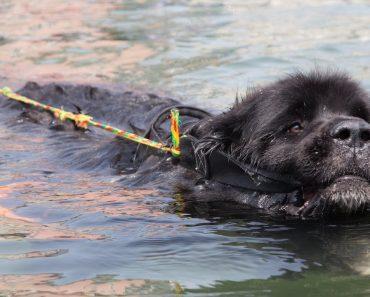 Super Swimmer Dogs Save Lives 3