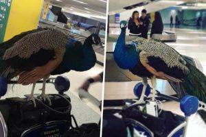 United Airlines Denies Boarding To Emotional Service Animal… A Peacock 11