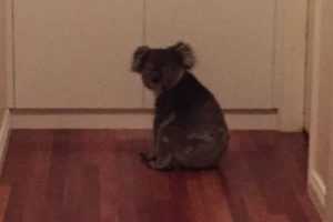 Family Gets Wildly Excited (And Terrified) During Koala Bear Home Invasion 10