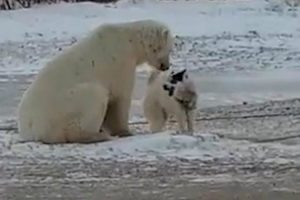 Incredible Moment A Wild Polar Bear Plays With A Dog 10