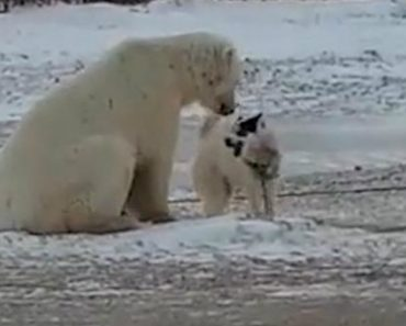 Incredible Moment A Wild Polar Bear Plays With A Dog 1