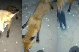 Funny Moment Cheeky Fox Steals Thong Right Off Woman 12