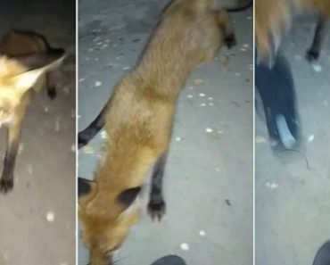 Funny Moment Cheeky Fox Steals Thong Right Off Woman 6