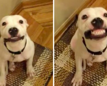 'Say Cheese!' Labrador Hilariously Smiles After Being Prompted 1