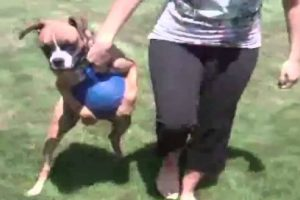 Dog Will Not Let Go Of His Favorite Blue Ball No Matter What His Owner Says 11