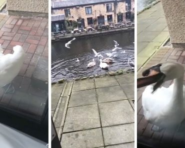 Hilarious Moment Student Flips Out At A Swan Who Bashes On His Window With Its Beak For Over 2 Hours 2