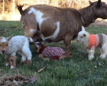 Adorable Video Shows Newborn Nigerian Dwarf Goats Dressed In Sweaters 6