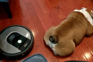An Immovable Bulldog Enjoys a Half Body Massage From a Roomba Vacuum Just Trying to Do Its Job 11
