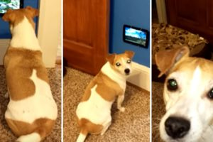 Dog Excitedly Watches Her Very Own TV 11