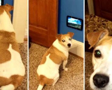 Dog Excitedly Watches Her Very Own TV 7