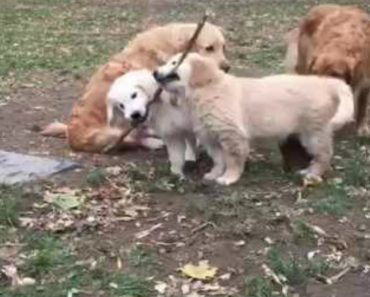 Golden Retriever Puppies Use Teamwork to Carry Stick 1