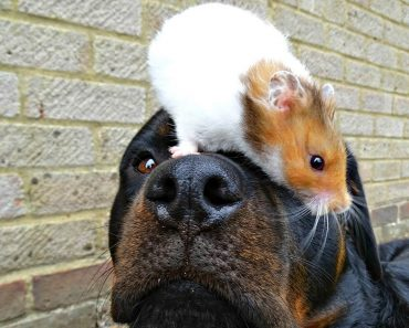 Rescued Rottweiler Forms Friendship With Hamster 3