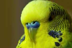 Meet Disco The Incredible Talking Budgie 9