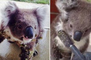 Koala's Terrible Day Improved By A Kind Human With A Hair Brush 11