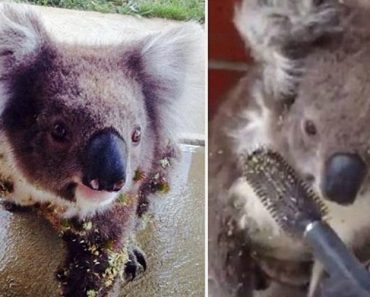 Koala's Terrible Day Improved By A Kind Human With A Hair Brush 1