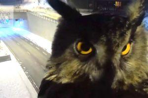 Owl Videobombs Traffic Security Camera 12