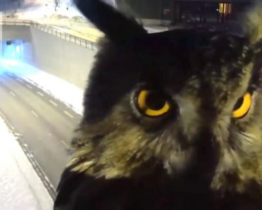 Owl Videobombs Traffic Security Camera 1
