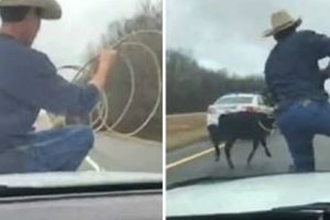 Dude Lassoing Cow While Riding On Sheriff's Car Will Make You Say 'Yee-Haw' 10