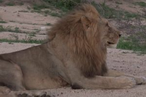 Chameleon Rides In The Wild Mane Of An African Lion 11