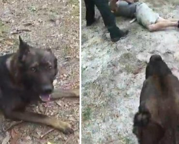 K-9 Praised for Catching Suspect After Separating From Deputy 9