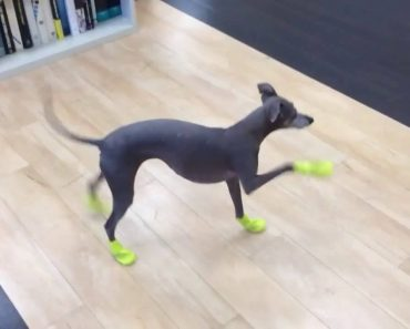 Hilarious Moment Dog Tries Out New Boots And It Doesn't Go Well 4