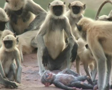 """Monkeys Mourning The """"Death"""" Of A Robot Monkey Will Hit You Right In The Feels 2"""