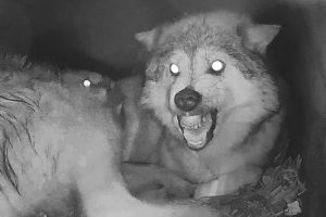 When Wolf Mama's Time Gets Interrupted By Needy Pups 12