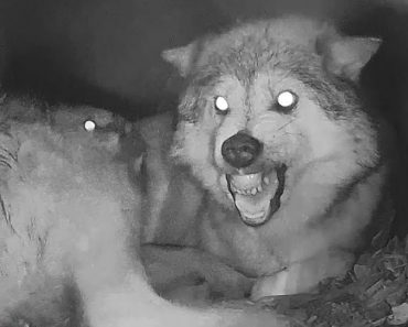 When Wolf Mama's Time Gets Interrupted By Needy Pups 7
