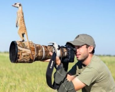 Meerkat Sentries Will Climb Anything For A Better View... Including Cameramen 2