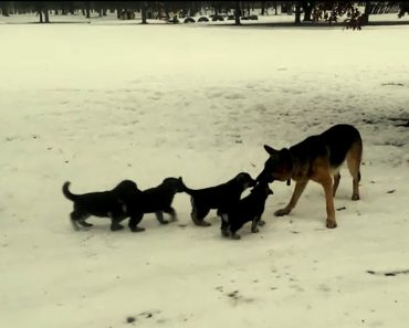 After This German Shepherd Went Outside, He Played With His Pups In The Cutest Way 5