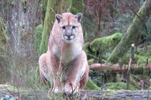 Man Stalked By Cougar In The Wilderness 11