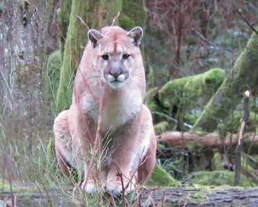 Man Stalked By Cougar In The Wilderness 1