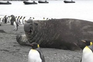 Massive Elephant Seal Accidentally Squashes Its Pup 12
