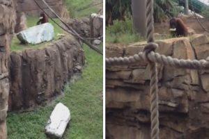 An Orangutan Was Defrauded Out Of His Banana 12