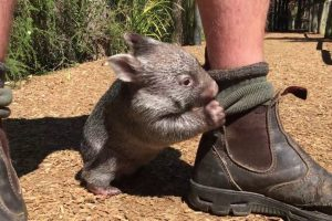 An Adorable Rescued Baby Wombat Follows His Human Caretaker Everywhere He Goes 10