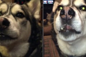 Siberian Husky Hilariously Talks Back To His Human When He Doesn't Get His Way 12