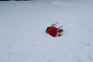 Poor Bulldog Can't Roll Over In The Snow 11