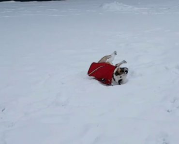 Poor Bulldog Can't Roll Over In The Snow 2