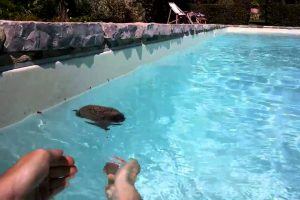 Hedgehog Gets Rescued From A Pool And Couldn't Care Less About The Whole Ordeal 12