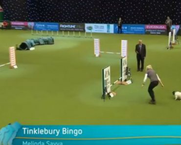 Nope! Little Dog Refuses The Agility Course At Crufts 1