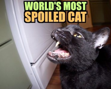 Talking Kitty Cat - World's Most Spoiled Cat 8