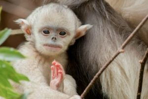 Mystery Monkeys Of Shangri-La – The Yunnan Snub-Nosed Monkeys 12