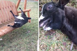Over-Excited Goat Faints After Jumping On Swing 10