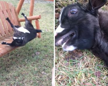 Over-Excited Goat Faints After Jumping On Swing 4