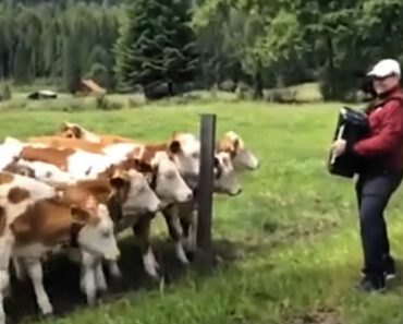 He Started Playing His Accordion In A Field. Watch What The Cows Do! 4