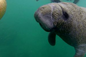 This Manatee Loves Belly Scratches 12
