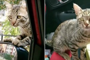 Lonely Stray Cat Breaks into Rescuer's Car Asking to Be Adopted 9